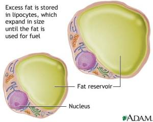 lipocytes-fat-cells-picture